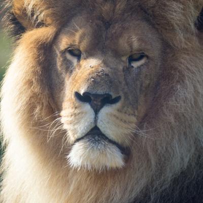 Lion de Cerza