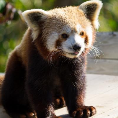 Panda Roux (Cerza)