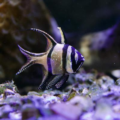 Poisson - Nausicaa