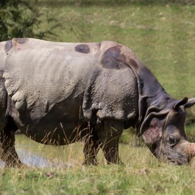 Rhinocéros blanc (Cerza)