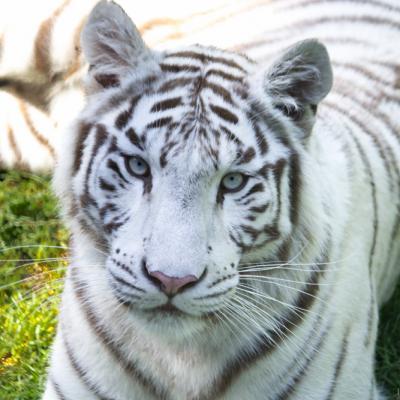 Tigre Blanc (Cerza)