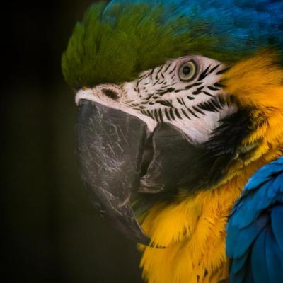 Perroquet (Cerza)