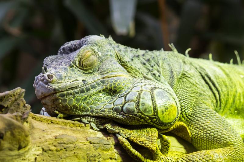 Iguane à Cerza