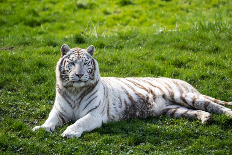 Cerza et les tigres blancs