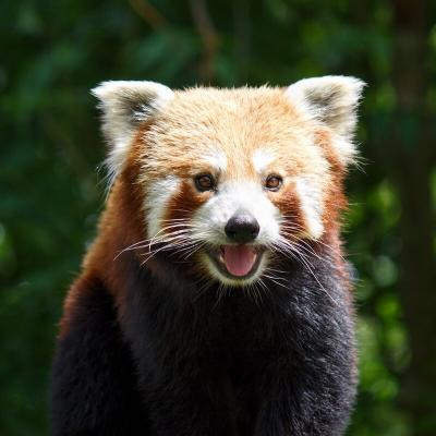 Panda au zoo d'Amiens